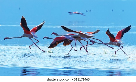 Flamingo taking off at Bogoria Lake in Kenya