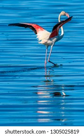 Flamingo wading in blue water