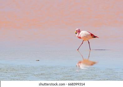 Flamingo, wildlife, Laguna Colorada (Red Lagoon), Altiplano, Bolivia, South America