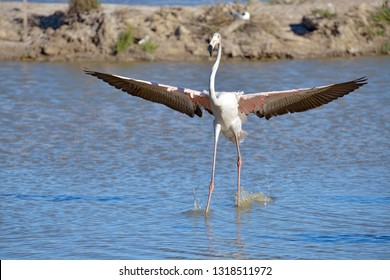 Flamingo wings spread in water (Phoenicopterus ruber) seen from the front, in the Camargue is a natural region located south of Arles, France