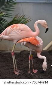 Flamingo at a Zoo