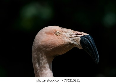 Flamingoes belong to the wading birds in the family Phoenicopteridae. There are 6 flamingo species, here you see the Greater Flamingo (Phoenicopterus roseus), which ich the most widespread flamingo