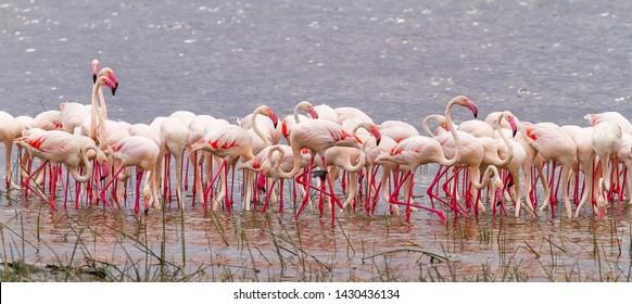 Flamingoes Lesser Flamingos Phoenicoparrus minor feeding in water Lake Nakuru National Park Kenya East Africa. Stand in line.