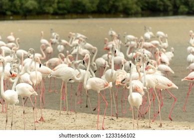 Flamingoes in Ras Al Khor Wildlife Sanctuary, Ramsar Site, Flamingo hide2, Dubai, United Arab Emirates