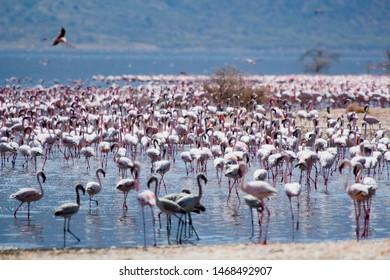 Flamingos in Bogota Lake, Kenya