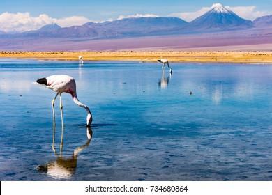 Flamingos, Chaxa Lagoon