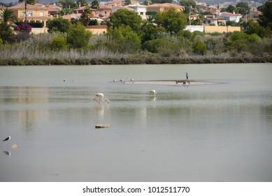 flamingos, Costa Blanca,  Spain