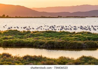 Flamingos in Ebro Delta nature park, Tarragona, Catalunya, Spain. Copy space for text