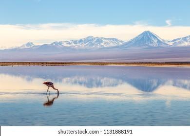 Flamingos feeding along the edge of Salar de Tara (Tara salt lake) in the Atacama desert (Chile).