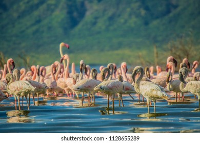 Flamingos feeding by the lake shore