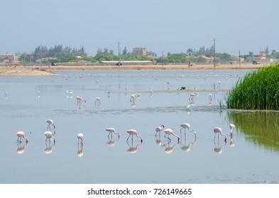 Flamingos feeding in laggon of desert town Lobito, Angola, Southern Africa
