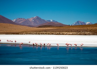 Flamingos feeding in a lake in the Bolivia altiplano, with mountains and volcanos in the back.