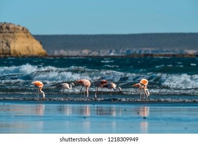 Flamingos feeding on the beach, Peninsula Valdes, Patagonia
