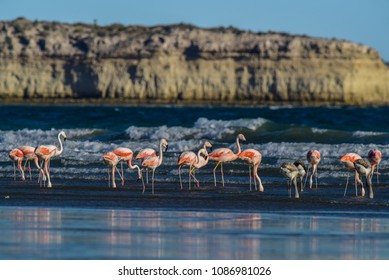 Flamingos feeding on a beach,Peninsula Valdes, Patagonia, Argent