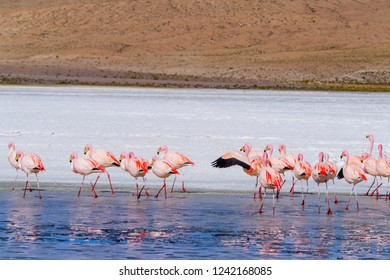 Flamingos are fishing in the winter lake of Laguna Capina, Bolivia.