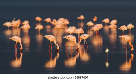 Flamingos or flamingoes are gregarious wading birds in the genus Phoenicopterus, the only genus in the family Phoenicopteridae. / Flamingo on Sunset.