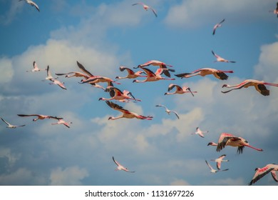 Flamingos in flight mid air lake bogoria kenya