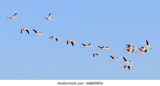 Flamingos flying in Camargue, France