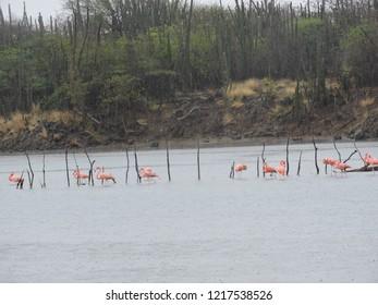 Flamingos goto Lake Bonaire