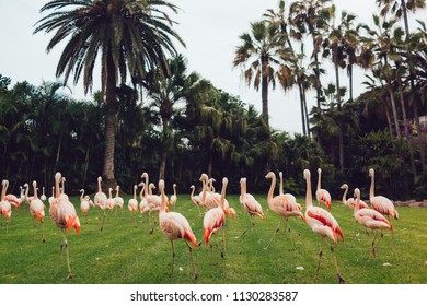 Flamingos at green grass and  tropical landscape, at Loro park in Tenerife island
