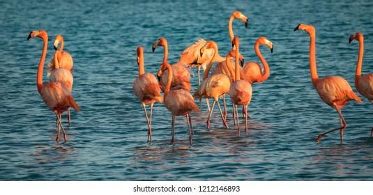 Flamingos at Jan Kok Salt Pan on the Caribbean Island of Curacao