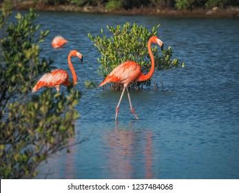 Flamingos at the Jan Kok Salt Pans on the Caribbean Island of Curacao