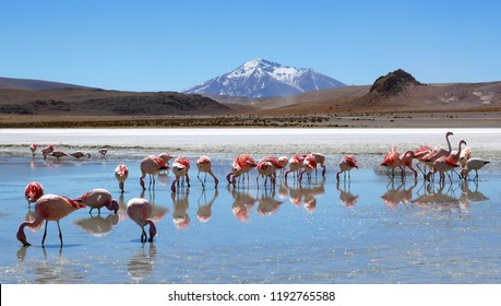 Flamingos in Laguna Hedionda located near the Uyuni Salt Flat (Salar de Uyuni) in Bolivia, South America