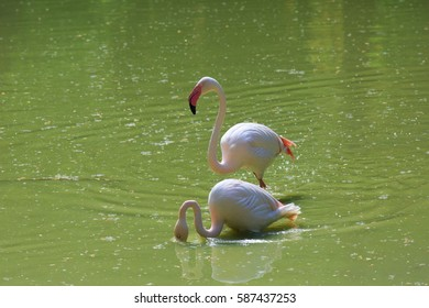 flamingos looking for prey in the river