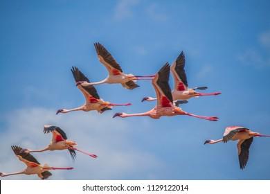 Flamingos in mid air