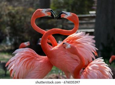 Flamingos, Oklahoma City Zoo