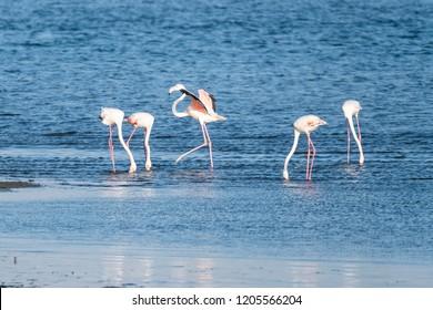 Flamingos on the banks of the Ria de Aveiro delta, Portugal.