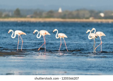 Flamingos on the banks of the Ria de Aveiro delta, Portugal.