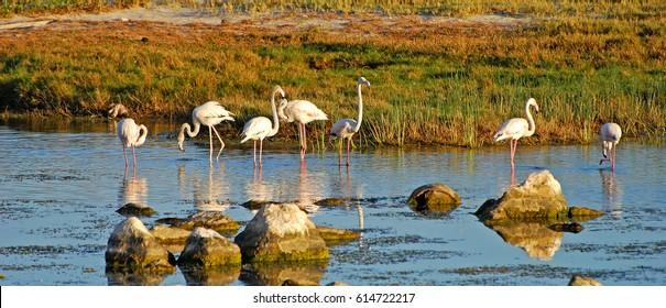 Flamingos, Phoenicopteridae. Salalah - Dhofar province. Sultanate of Oman. Arabian Peninsula