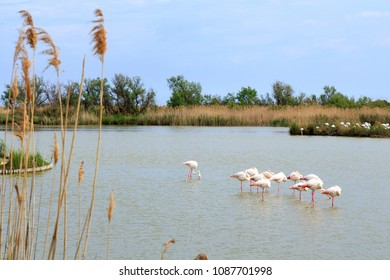 Flamingos in a pond in the south of France