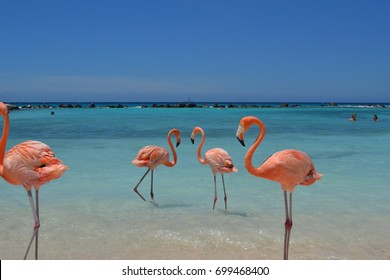 Flamingos, Renaissance Private Island, Aruba, Caribbean