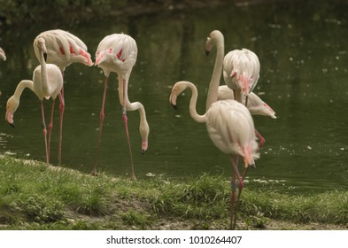 Flamingos at rest