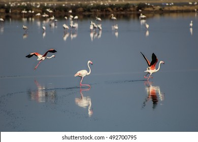 Flamingos running in in beautiful calm waters, starting to fly in Andalusia, Spain