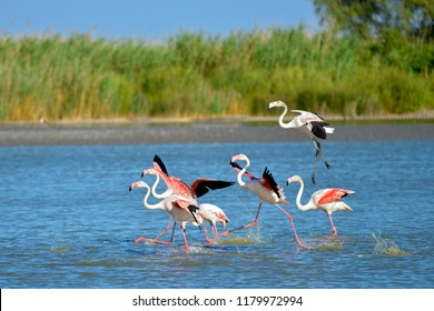 Flamingos running on water (Phoenicopterus ruber) after flying, in the Camargue is a natural region located south of Arles, France, between the Mediterranean Sea and the two arms of the Rhône delta