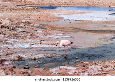 Flamingos in Salt of Atacama,Atacama Desert, Chile, South America