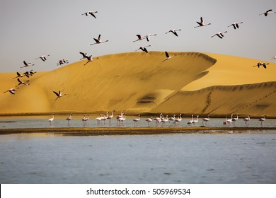 Flamingos with sand dunes on backgound in Walvis Bay, Namibia