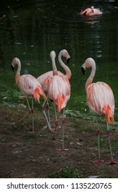 Flamingos standing on the banks of an artificial water pond of a zoo.