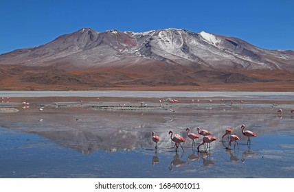 Flamingos standing in a salt lake with a mountain in the background, Bolivia