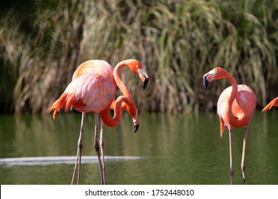 Flamingos. Three orange and white feathered birds turning their heads aside and trying to touch each other. Slow motion shot. Orange pink flamingo. group of flamingo's