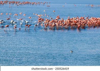 Flamingos at a tropical coastal lagoon in the Caribbean. Cuare National park and bird reserve, Venezuela