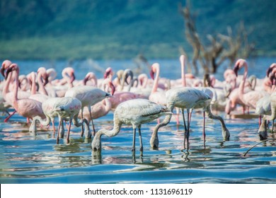 Flamingos in water feeding on algae in lake bogoria