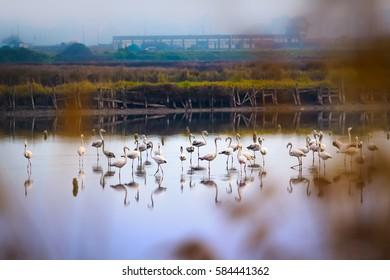 Flamingos in wildlife reserve in Aveiro, Portugal