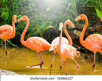 Flamingos zoo concept. Lesser flamingos herd in lake on morning. It is a species of flamingo occurring in sub-Saharan Africa and population in India. Lesser flamingo is smallest species