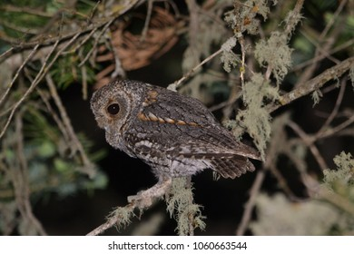 Flammulated Owl in tree