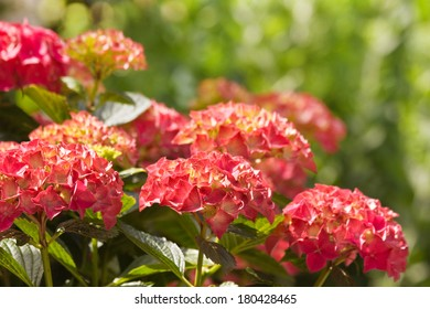 Flamy colors on Hortensia or Hydrangea flowers in summer with bokeh background