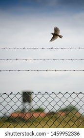 Flanders / Belgium - 07/14/2019 : Bird flying over a barb wire, symbol of freedom or have been imprisoned in jail of prison.